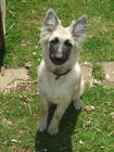 JESTONY SWEET SUMMER STORM AT 19 WEEKS ( ELLIE )- A SKYE/BLUE PUP-TYPICAL CREAM SABLE JESTONY PUPPY
