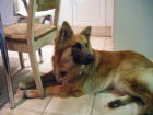 JESTONY WOLF BOY BLUE AT 1 YEAR OLD ( ZACH )- A RUBY/BLUE PUP-TYPICAL BLUE/RED SABLE JESTONY PUPPY
