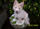 JESTONY SNOWS TORM AT 12 WEEKS ( BLUE )- A SAVANNAH/BLUE PUP-TYPICAL WHITE ( BLUE PIGMENT ) JESTONY PUPPY