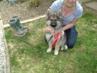 JESTONY SILVER PHOENIX AT 13 WEEKS ( ZOE )- A MADDIE/SAXON PUP-TYPICAL SILVER SABLE JESTONY PUPPY
